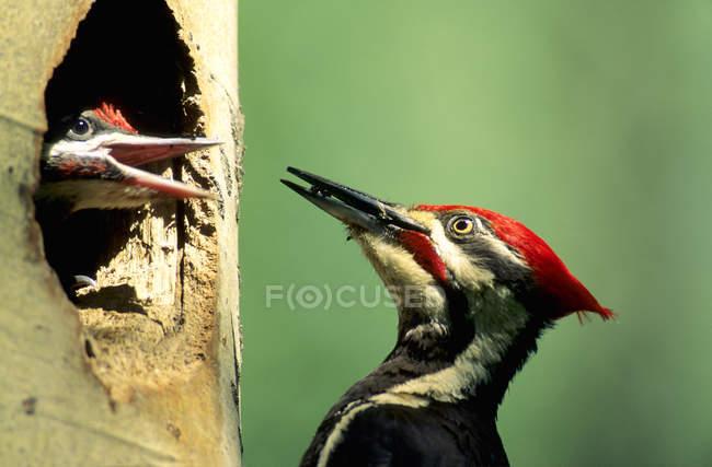 Pileated дятел годування мураха Чик в порожні гнізда, Закри. — стокове фото