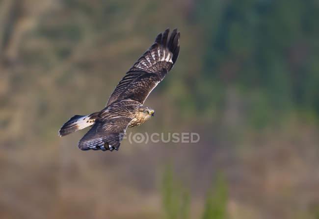 Grezzo – legged hawk volando in prato — Foto stock