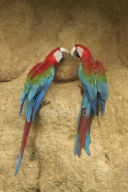 Red-and-green macaws perched and feeding on clay in Amazonian Peru, South America. — стоковое фото