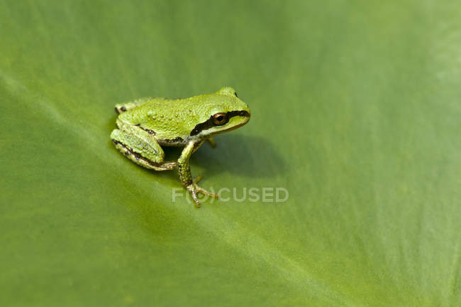 Close-up of green Pacific tree frog sitting on plant leaf. — стокове фото