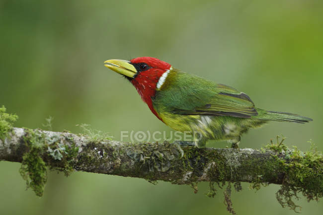 Exotic red-headed barbet bird perched on branch in Ecuador. — стоковое фото