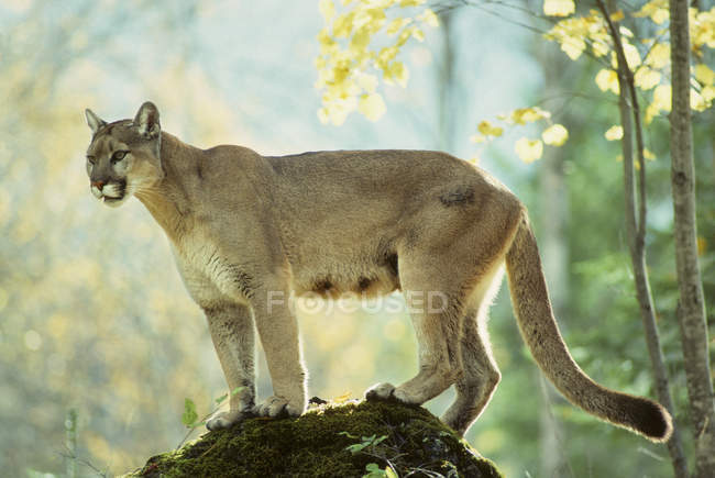 Female cougar standing on rock in forest. — Stock Photo