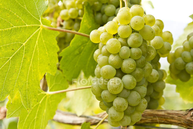 Ripe Chardonnay grapes growing in vineyard, close-up. — Stock Photo
