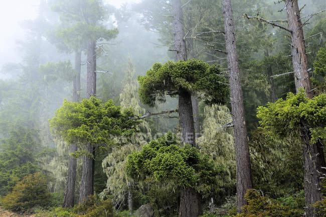 Красное дерево деревья в лесу туман от Олимпийский национальный парк, штат Вашингтон, Соединенные Штаты Америки — стоковое фото