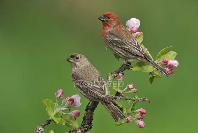 Finches de casa masculinos e femininos em ramo florescente de ameixa — Fotografia de Stock