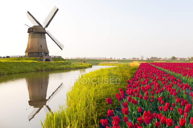 Windmill and red tulips field near Schermerhorn, North Holland, Netherlands — Stock Photo