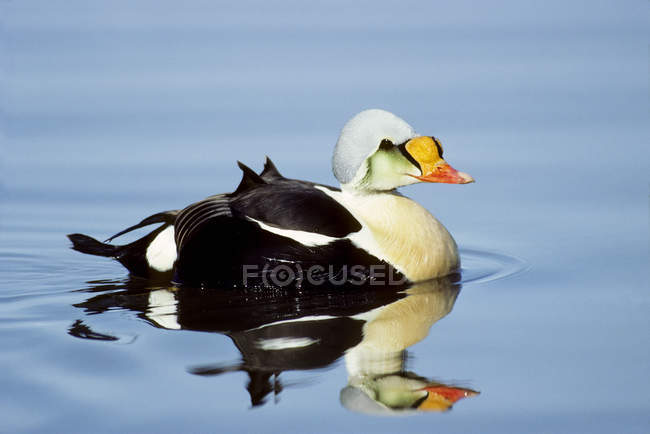 Male king eider swimming in water. — Stock Photo