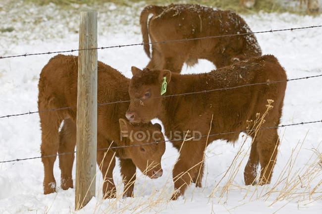 Rote Angus Kälber hinter Zaun auf verschneiten Ranch in Alberta, Kanada. — Stockfoto