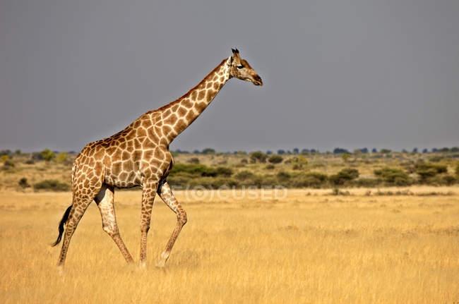 Giraffe walking in grassland, Central Kalahari Game Reserve, Botswana, Africa — Stock Photo