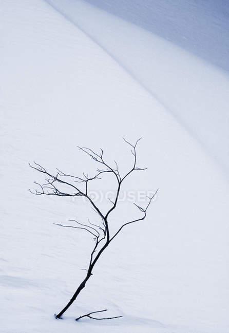 Shrub in snow by Maligne Lake Road, Jasper National Park, Alberta, Canada — Stock Photo