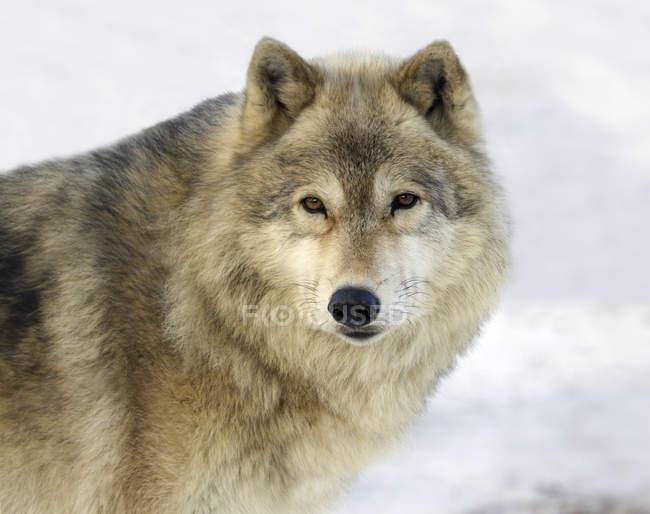 Серый волк стоя в снегу, макро — стоковое фото