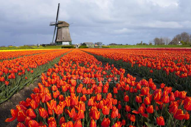 Ветряная мельница и тюльпаны поле возле Obdam, Северная Голландия, Нидерланды — стоковое фото