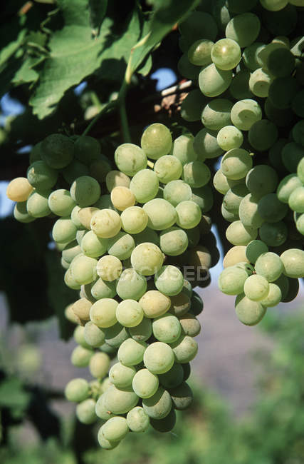 Okanagan white grapes in vineyard, close-up. — Stock Photo
