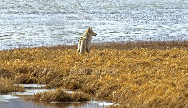 Coyote hunting on shore of marsh of Waterton Lakes National Park, Alberta, Canada. — стокове фото