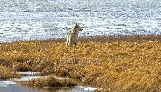 Койот полювання на березі марш озер Ватертона, Альберта, Канада. — стокове фото
