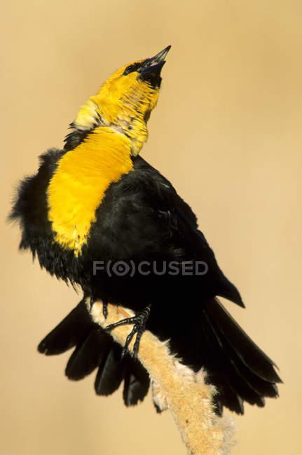 Cabeza amarilla mirlo posado y convocando a la Enea de marisma. - foto de stock