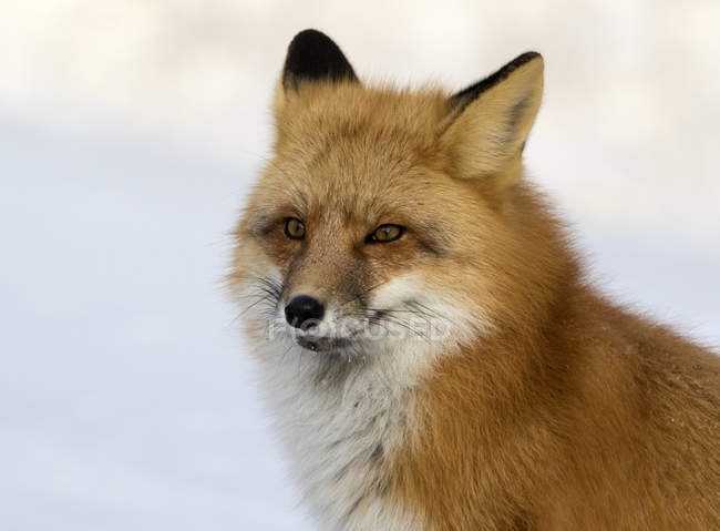 Portrait des adult renard roux fond neigeux. — Photo de stock