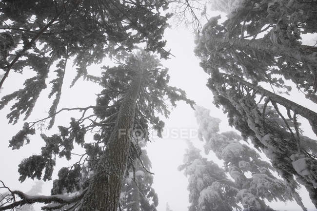 Árvores cobertas de neve e nevoeiro nas montanhas do Parque Provincial Mount Seymour, Colúmbia Britânica, Canadá — Fotografia de Stock