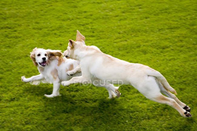 Golden Retriever und Cavalier King Charles Spaniel Welpen laufen und spielen im grünen Park. — Stockfoto