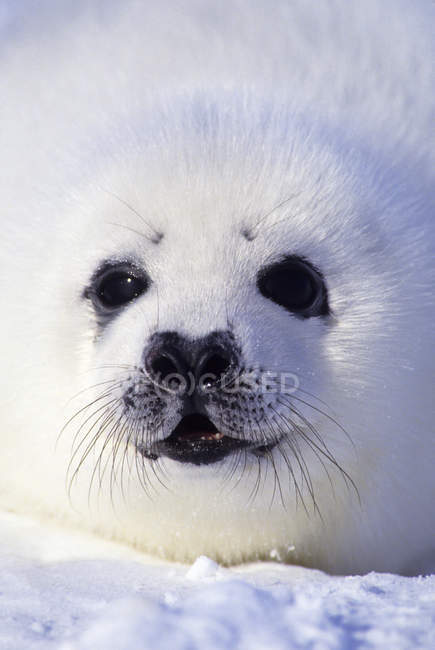Retrato de close-up de filhote de foca harpa com whitecoat na neve . — Fotografia de Stock