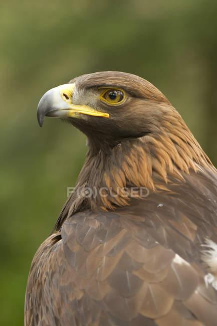 Aquila rapace, ritratto — Foto stock