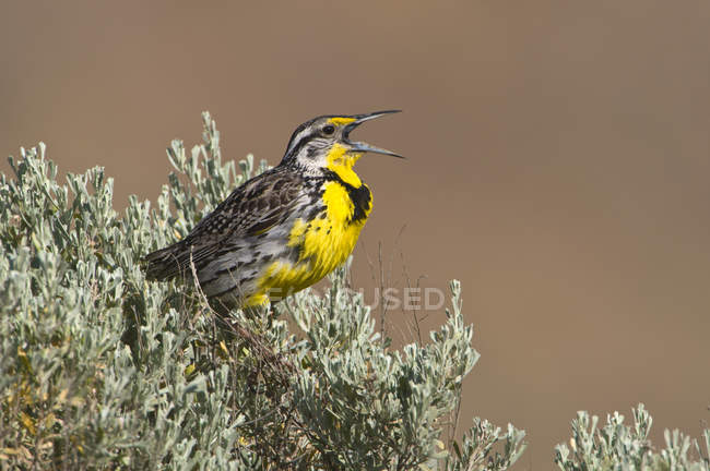 Western meadowlark cantando e empoleirado em sálvia escova . — Fotografia de Stock