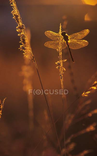 Рівнокрилі бабки посадки на траві на захід сонця, Закри. — стокове фото