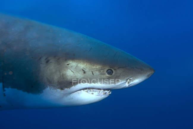 Grande squalo bianco che nuota nell'acqua blu del mare, primo piano . — Foto stock