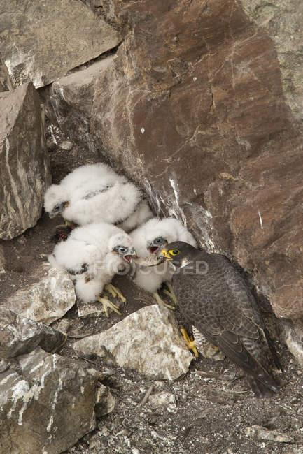Falco di nutrire i pulcini al nido in rocce. — Foto stock