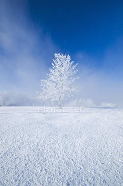 Champ avec arbre couvert de givre près d'Estevan, Saskatchewan, Canada — Photo de stock