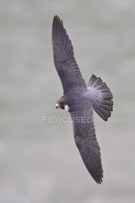Серый сапсан, летать с крыльями, протянутой в воздухе. — стоковое фото