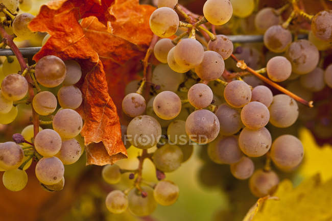 Viognier grapes on vine at autumn harvest, close-up. — Stock Photo