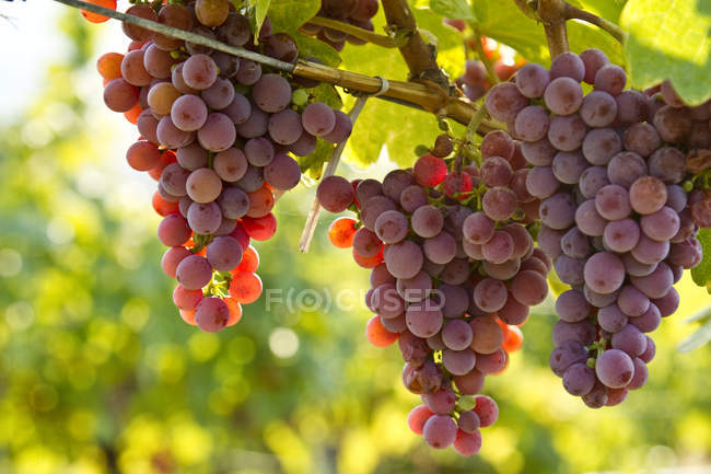 Close-up of Ripe Gewurtztraminer grapes in sunlight — Stock Photo