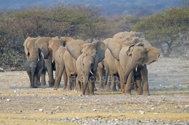 Troupeau d'éléphants d'Afrique dans la plaine du parc national d'Etosha, Namibie — Photo de stock