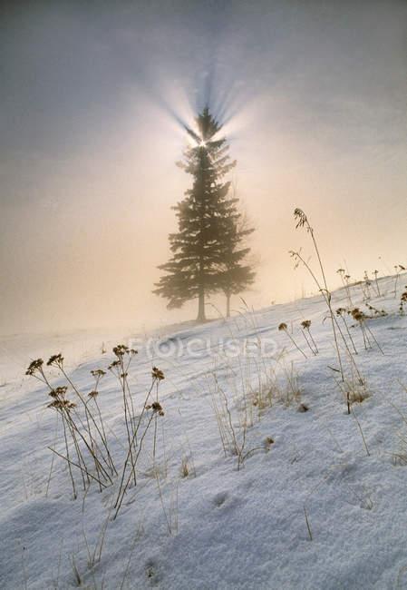 Ялина в підсвічуванням і туману при сходом сонця біля Дрейтон долини, Альберта, Канада — стокове фото