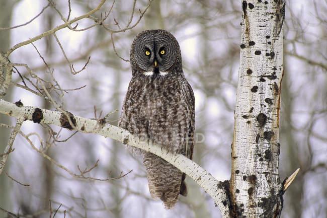 Adultos gran búho gris perchado en la rama del árbol de abedul en bosque invernal. - foto de stock
