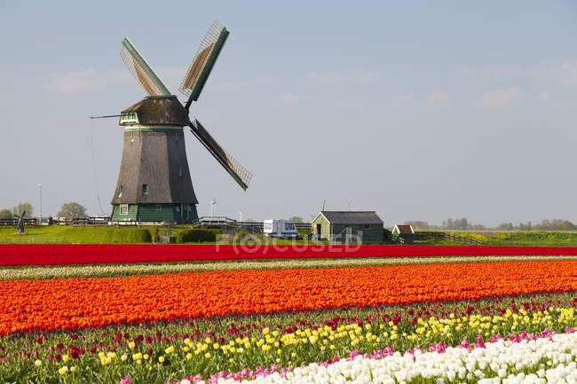 Windmill and tulips field near Obdam, North Holland, Netherlands — Stock Photo