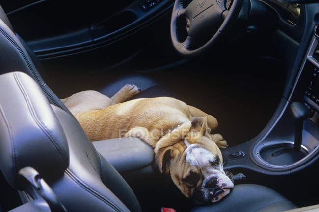 Boxer dog lying on front seat of car — Stock Photo
