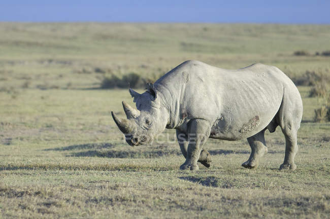 En peligro de extinción rinoceronte negro caminando en un pastizal del Parque Nacional de Nakuru, Kenya, East Africa - foto de stock