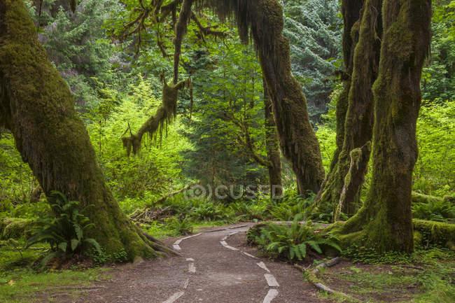 Хвост через дождевой лес Hoh в Олимпийский национальный парк, штат Вашингтон, США — стоковое фото