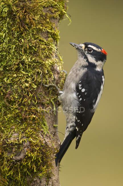 Pájaro carpintero macho en percha musgosa en el bosque, primer plano . - foto de stock