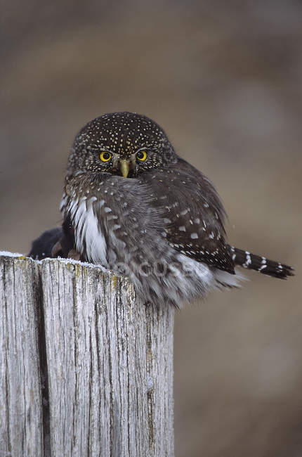Northern pygmy owl perched on wooden stump. — Stock Photo