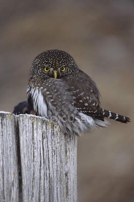 Gufo pigmeo nordico appollaiato sul ceppo di legno. — Foto stock