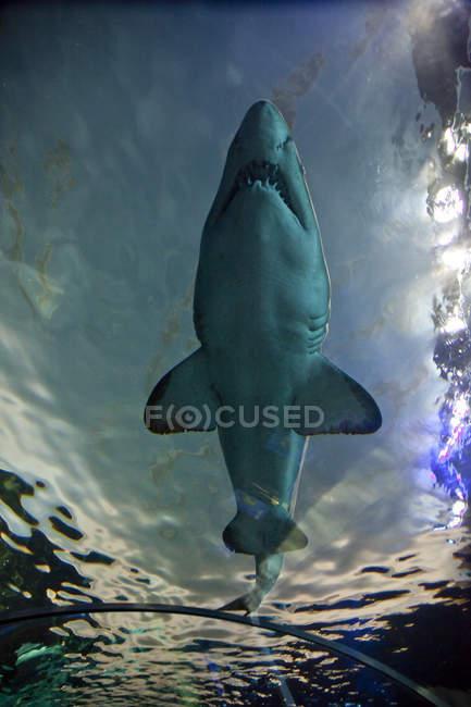 Vista de bajo ángulo de la natación de tiburones en Dangerous Lagoon, Toronto, Canadá - foto de stock