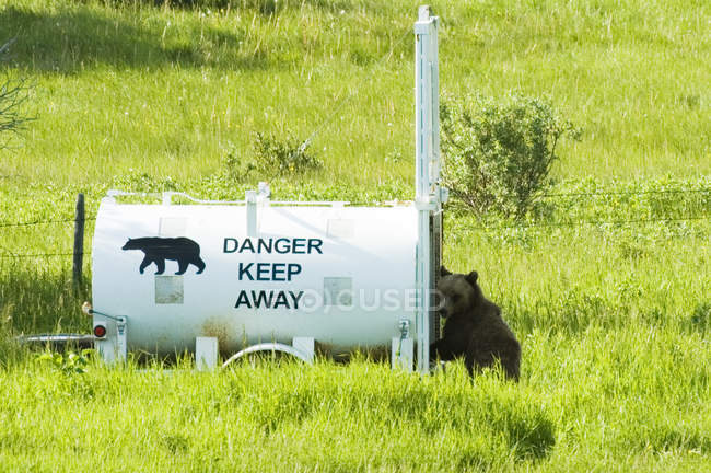 Black bear entering live trap, Waterton Lakes National Park, Alberta, Canada. — стокове фото