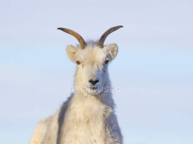 Hoofed  mountain goat looking in camera on blue background. — Stock Photo