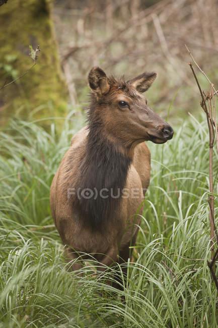 Roosevelt Elch weiden im Gras, oregon, usa — Stockfoto