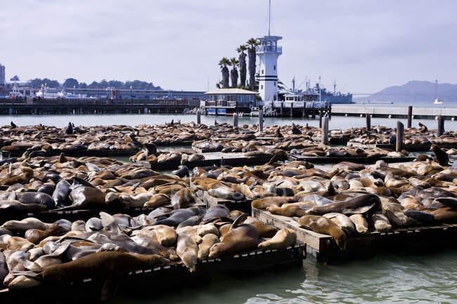 Seelöwen am Fischersteg, San Francisco, USA — Stockfoto