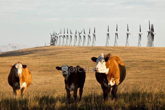 Энерговагоны ветряные мельницы и скот на пастбище вблизи Пинчер-Крик, провинция Альберта, Канада. — стоковое фото