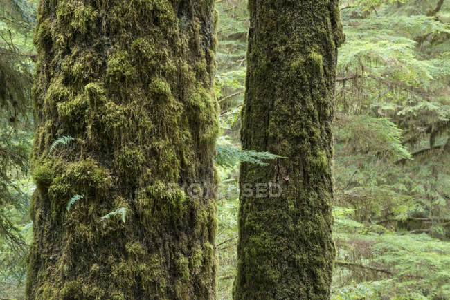 Moss-covered Sitka spruces tree trunks at Rainforest Trail near Tofino, British Columbia, Canada — Stock Photo